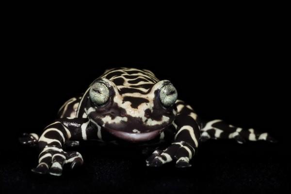 动物摄影:厄瓜多尔濒临灭绝的青蛙(组图)_新闻_南海网