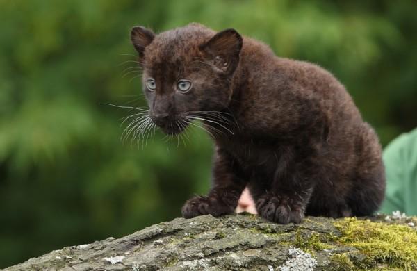 """全球最萌动物婴儿照:威猛虎豹失去的""""青春"""""""