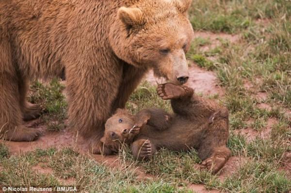 实拍西班牙小棕熊草地上打滚:慵懒可爱/组图