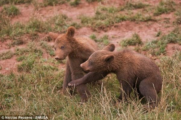 英国《每日邮报》刊登了一组欧亚棕熊的可爱组图,摄影师尼古拉斯(Nicolas Reusens)成功地捕捉了一系列棕熊幼崽在西班牙Cabrceno国家自然公园自由玩耍的组图。   从《丛林之书》到《维尼小熊》,棕熊似乎都和懒有不解之缘,图片中的这只小熊也不例外。图片中,它很满足地躺在草地上,悠闲地嚼着树叶。任由兄弟姐妹们在一边欢快得追逐打闹着,它似乎只对在地上打滚儿感兴趣。   从图中可以看出这只熊妈妈至少四只幼崽。通常小熊们要呆在妈妈身边四年直到它们能独立生活,成年的棕熊体重约达635公斤。