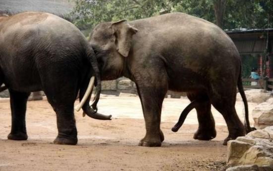 淫荡的性爱囹�a_实拍罕见动物性行为:令人瞠目的大象交配(图)
