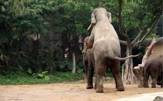 生殖器性交艺术_实拍罕见动物性行为:令人瞠目的大象交配(图)