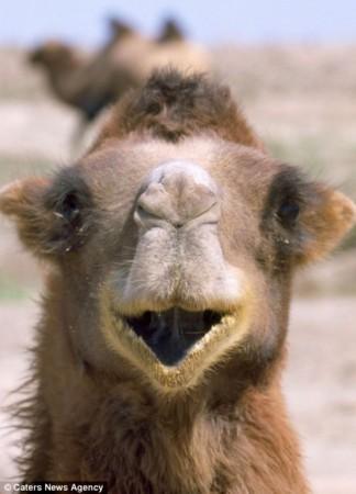 野生动物爆笑上镜照:大猩猩咧嘴笑很欢乐(图)