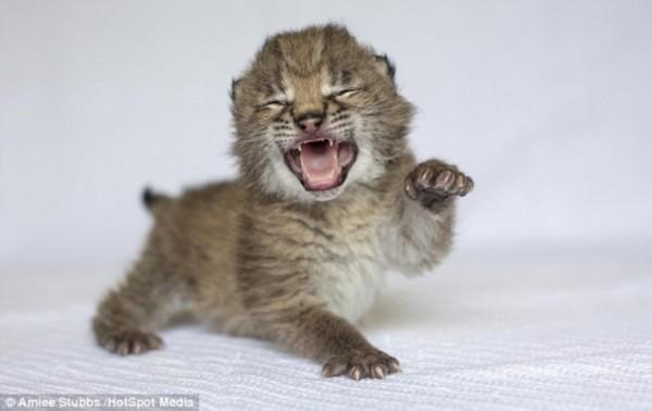 这两只雌云豹幼崽和一只雌猞猁幼崽在美国纳什维尔动物园出生。近几年来,这家动物园新增不少动物。这些可爱照片显示,这些惹人怜爱的幼崽磨爪霍霍,想马上使用捕猎技能。纳什维尔动物园最近4年内新增20只云豹和3只欧亚猞猁。
