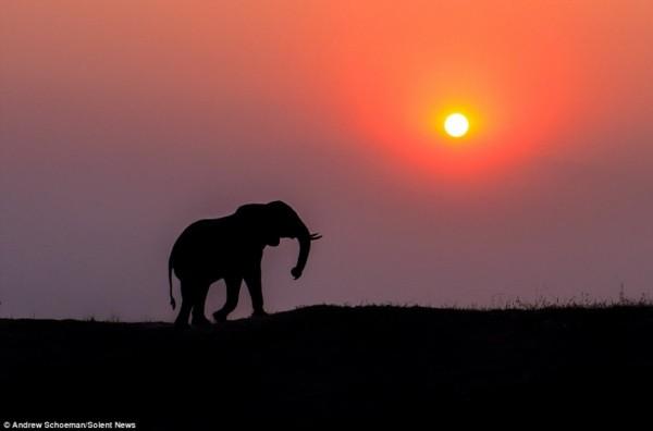 非洲野生动物剪影:孤独狮王与大象家族(图)