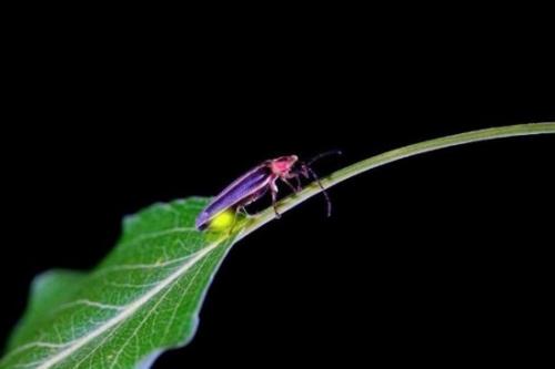 资料图:发光的萤火虫-盘点自然界视觉盛宴 鱼雨 之谜至今未解