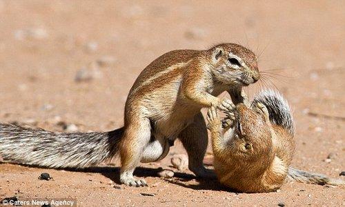 南海网 新闻中心 国际新闻 环球扫描    两只松鼠在地上厮打.