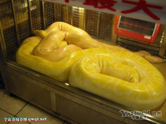 世界上最的蛇排名_
