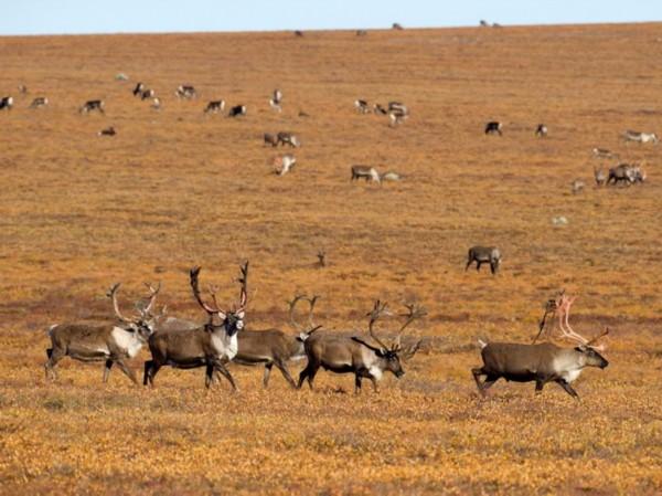 新闻中心 国际新闻 科学探索     盘点全球11种不可思议动物大迁徙