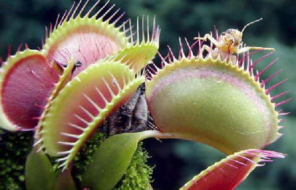 """植物/目前我们所知道的""""食肉""""植物超过400种,它们的亲缘关系可能..."""