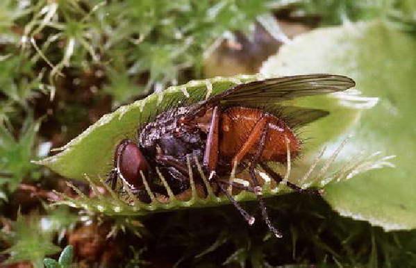 植物/图8、坐以待毙的苍蝇。...
