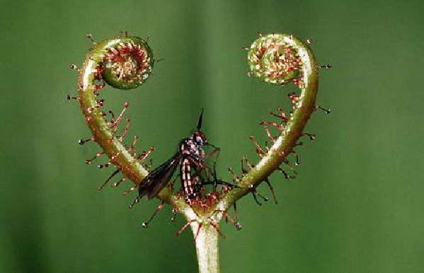 植物/图16、茅膏菜的叶面密布着分泌黏液的腺毛,当昆虫停落到上面时...