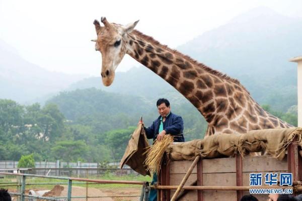 """当日,在青岛森林野生动物世界出生的7岁雄性长颈鹿""""长青""""被装上笼箱运"""