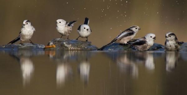 罕见野生动物摄影作品:绿双冠蜥水面凌波微步