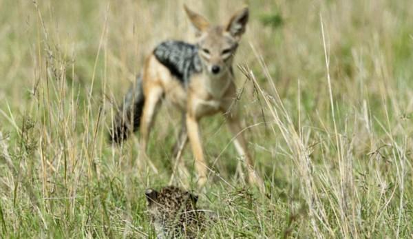 温情动物之幼豹狼口脱险扑入母亲怀抱暖心一刻/图