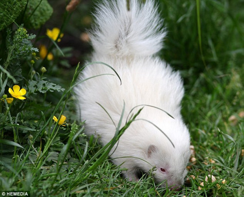 臭鼬白兔患白化病是在雪白通体红红似小宝宝(图)藏羚羊眼睛哪里图片