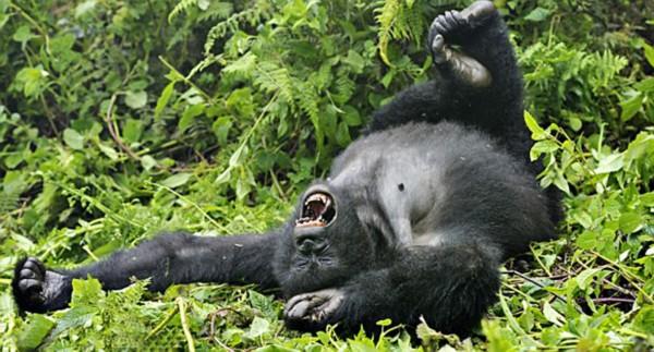 盘点动物界吃货百态:烂醉如泥的大猩猩(组图)