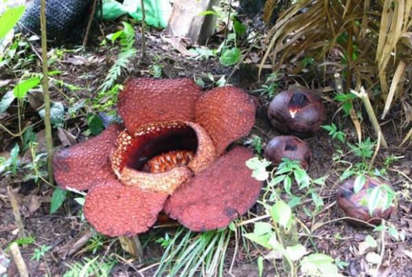 盘点全球十大恶臭古怪植物:鬼笔科蘑菇让苍蝇兴