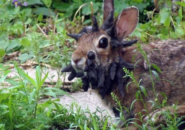 【环球网综合报道】据英国《每日邮报》7月2日报道,最近一段迅速窜红网络的视频拍摄到了明尼苏达州出现酷似传说中鹿角兔的野兔。不过,专家解释称,这只是普通的棉尾兔霍患一种名为休普氏乳头瘤的癌症所造成的效果。 发现并录下这只野兔的波切尔称,在自家后院见到这长相奇特的兔子时被吓了一跳,他坦承这是他见过的最丑的兔子。