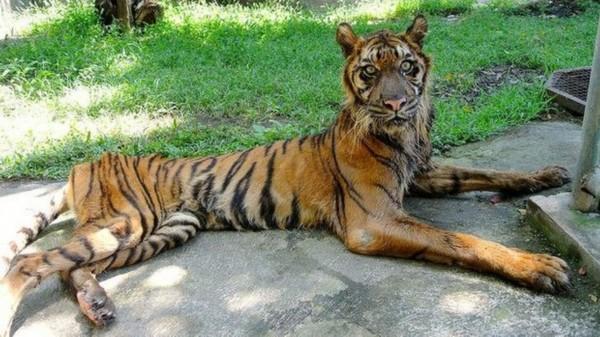 视频:印尼动物园老虎饿成猫