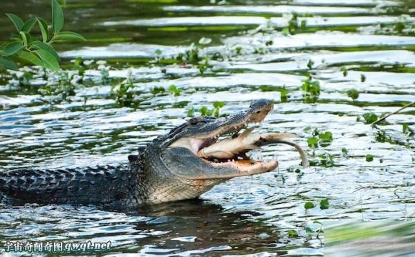 实拍动物捕捉食物的凶残瞬间:猛蛇捕大鱼