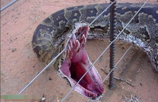 盘点世界各地骇人大蟒蛇 16.7米大蛇精成榜首/图