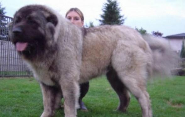 盘点世界上六种最凶猛的狗