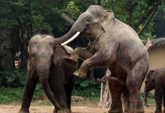 实拍罕见大象交配全过程:令人瞠目结舌图