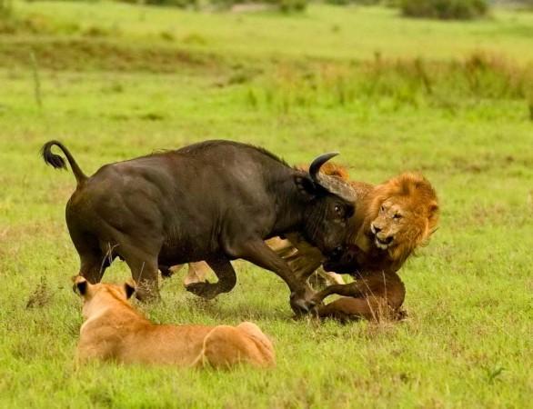 狮子咬死鳄鱼_野生动物殊死搏斗瞬间:母狮护崽咬死鳄鱼(图)__海南新闻网_南海网