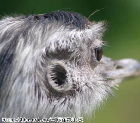 近距离捕捉野生动物绝美瞬间:猩猩摄影师/组图