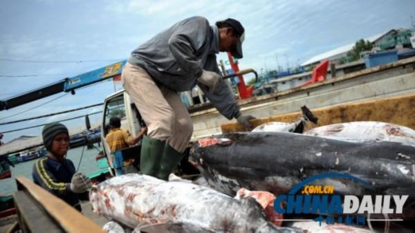 印尼巴厘岛渔民从船上卸下鲨鱼