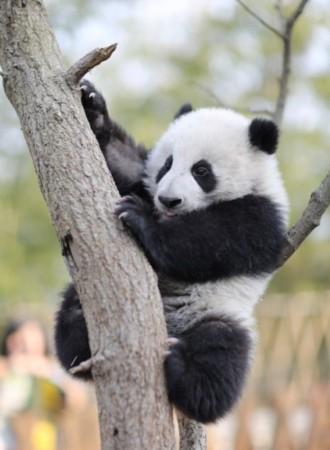 熊猫频道爆红网络 24小时直播其生活萌翻网友