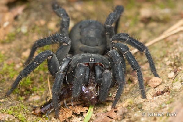 黄蚁蛛(学名:Myrmarachne plataleoides)的外形像极了红色的编织蚁。它们的伪装技巧十分成功,甚至当尼基贝在拍摄的时候,人们经常会问他为什么要拍一只蚂蚁。(任天)   原标题[盘点世界罕见蜘蛛种类:身体结构精巧纤美]