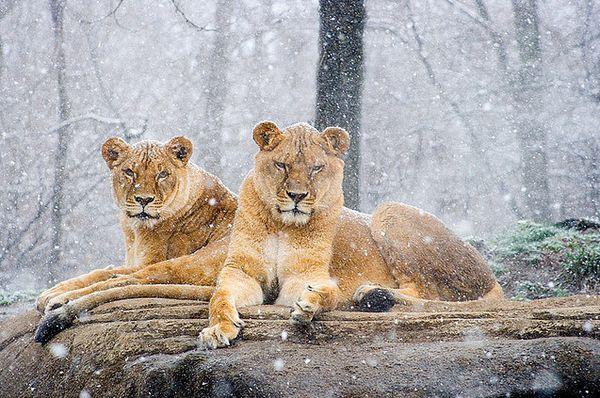 盘点顶级动物摄影作品:小北极熊依偎妈妈(图)