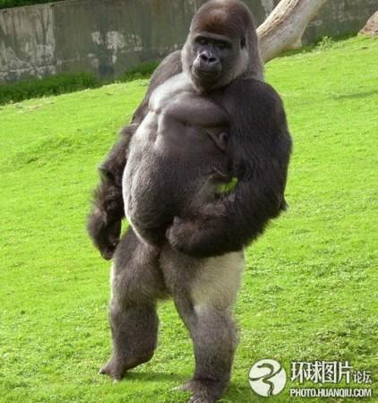 英国一只大猩猩可直立行走受网友追捧