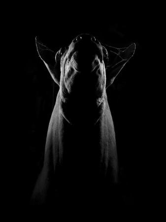 不同寻常的黑白动物肖像:静观生灵之灵(图)