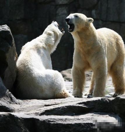 罕见动物性爱:不会北极熊求爱v动物全过程(图)鹦鹉鱼突眼会实拍死图片