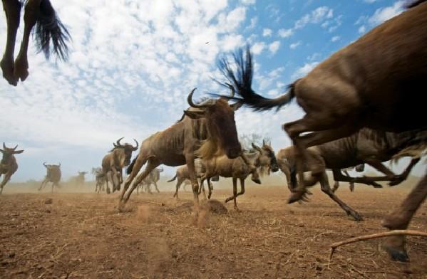 揭秘动物大迁徙:让人惊叹的神圣之路(图)