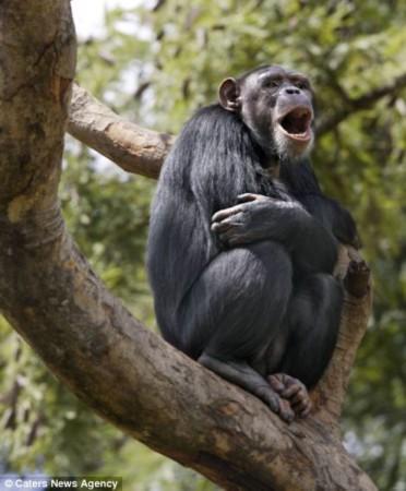 盘点动物开怀大笑瞬间:黑猩猩龇牙咧嘴(图)