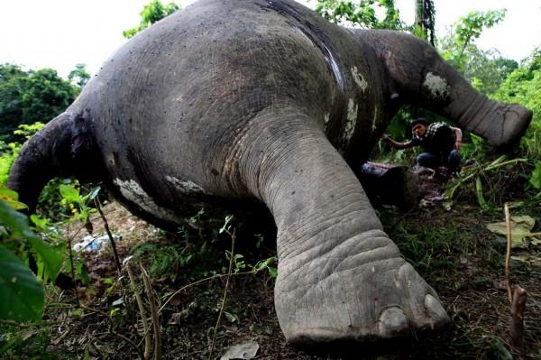 印尼苏门答腊岛上的濒危大象正在受到栖息地丧失和偷猎的威胁,野外的