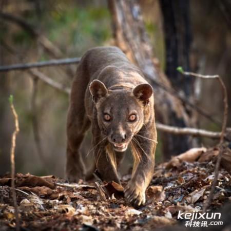 雄性马岛獴-盘点马达加斯加岛6大独有动物 世界独一份