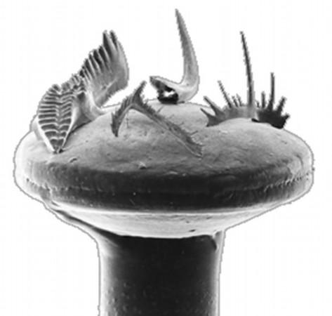 三维成像探秘牙形刺牙齿的结构与分工(图)