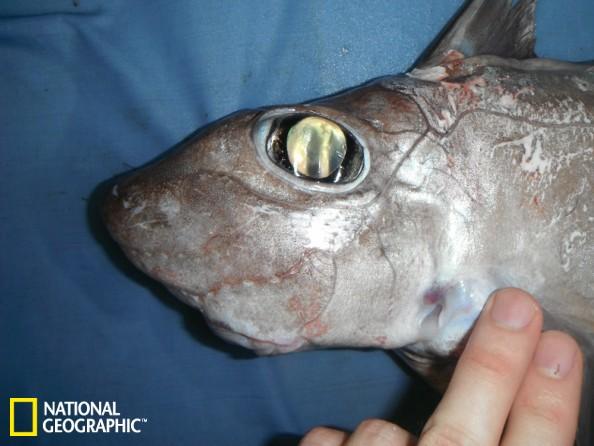 南印度洋深海罕见体长仅0.3米鲨鱼新种