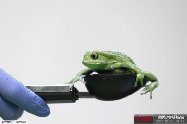 伦敦动物园(london zoo)举行的一场媒体活动上,一只蜡白猴树蛙正在称