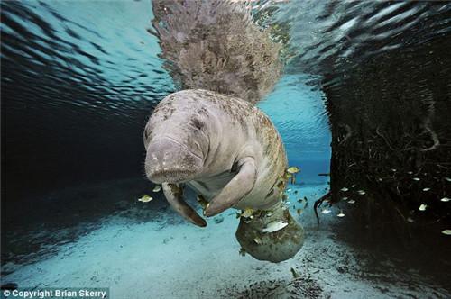 神奇海底动物:半透明海虾海葵中穿梭