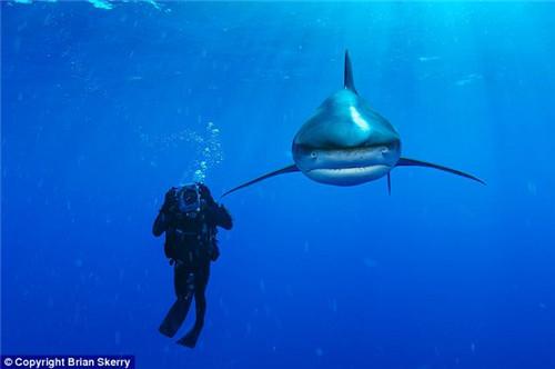 实拍海底神奇动物:半透明海虾海葵中穿梭(图)