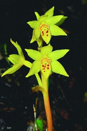 科学家在广东韶关丹霞山发现一种具有独特结构的腐生兰花,经过解剖学