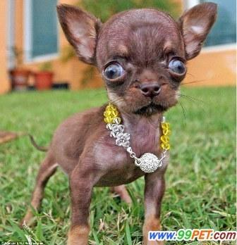 世界上最小的狗只有汤勺大 细数全球迷你动物/图