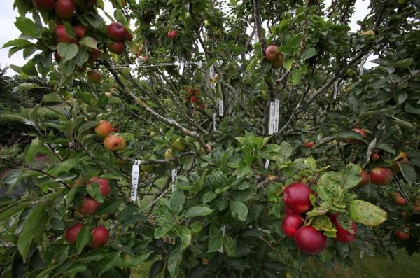 图集详情: 【环球网报道记者郭文静】据英国《每日邮报》9月29日报道,英国西萨塞克斯郡一名园艺师利用嫁接技术,花费24年精心培育自家后花园中的苹果树,终于使这棵苹果树同时长出了250个不同品种的苹果。 该园艺师名叫巴尼特,他每年冬天都会给这棵苹果树嫁接新品种。如今,这颗苹果树上长出了各种品种珍稀的苹果,如起源于1883年的Withington Fillbasket,还有1908年的Eadys Magnum,此外还有很多广受喜爱的品种。