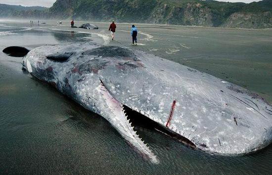 恐怖 抹香鲸/这种巨型鱿鱼生活在漆黑一片的太平洋深海区,人们对它知之甚少...